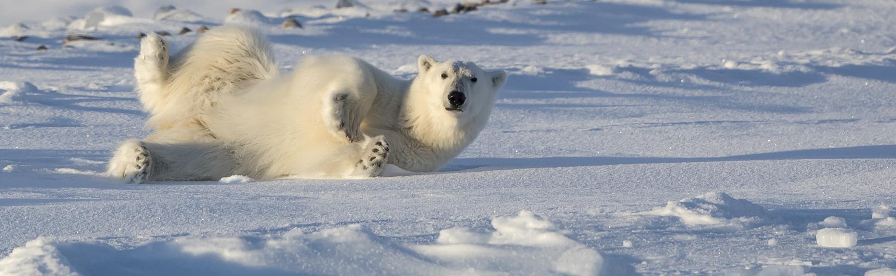 Polar bears in Svalbard on map of polar bear range, map of canada polar bear, where does a polar bear live, maps where brown bears live, spectacled bears live, where do polar bears live, where does the polar bear live, map of where kodiak bears live, polar bear camera live, where do squids live, how long can polar bears live, where does an aardvark live, map of polar bear habitat, map of younger dryas, how long do bears live, a map of where bears live, wear do polar bears live, description of where polar bears live, diagram of where polar bears live, map where black bears live,