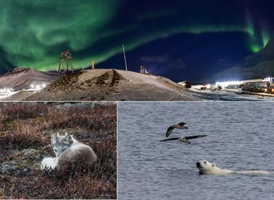 Northern lights, polar fox and polar bear