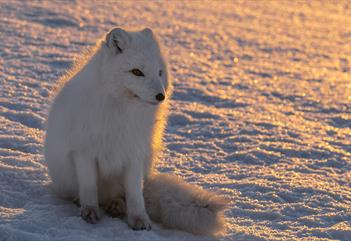 Arctic fox - Wildlife photo tour around Longyearbyen - See & Explore
